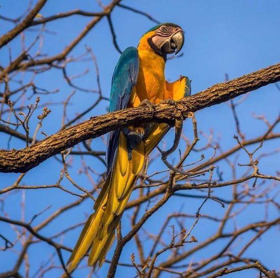 Macaw Blue One