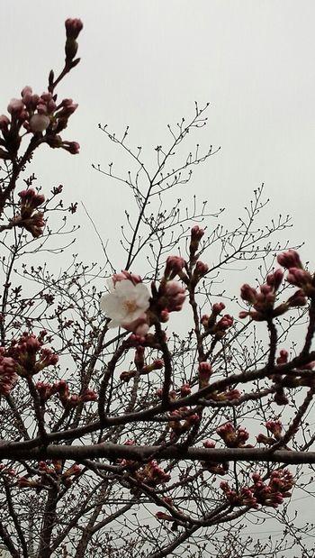 咲いたね さくら 染井吉野 Pink 開花