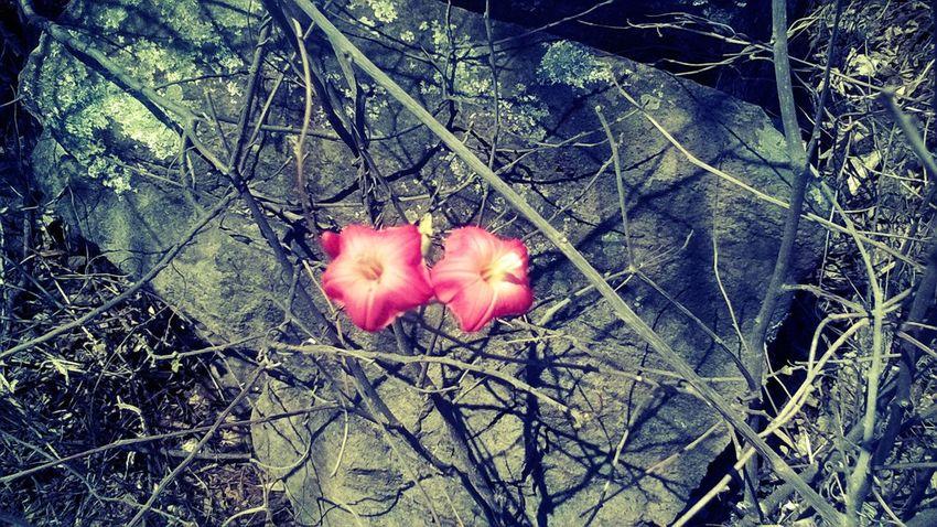 Dos flores Pink Color Flower Blossom In Bloom