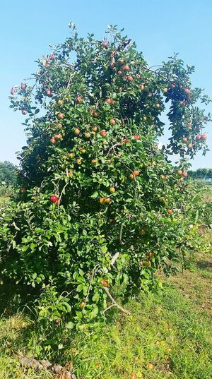 Fruit Apples Apple Tree Farm Taking Photos Picking Apples Photo Taken By Me Enjoying Life Exploring Nature Loving Life