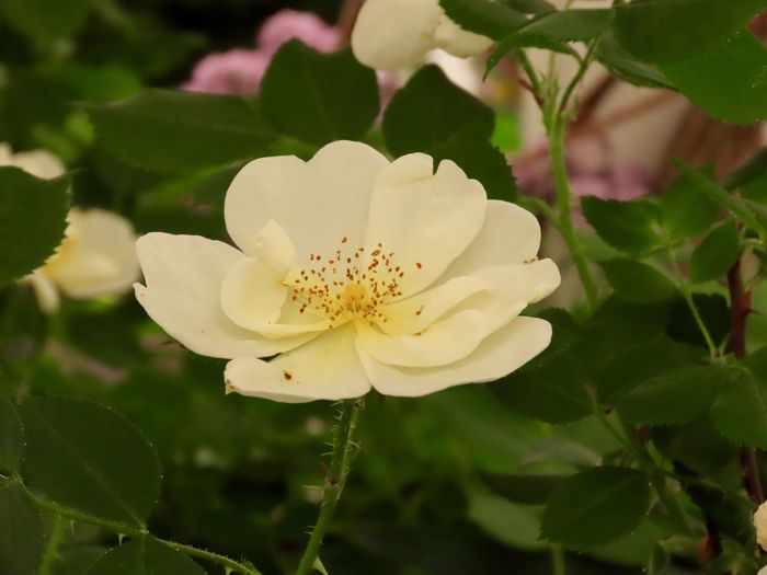 Single flower white petals green leaves close up beauty in nature flowering plant Petal Freshness Beauty In Nature Growth Flower Head White Color