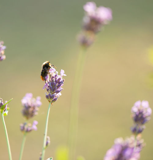 Close-up of bee pollinating on lavender