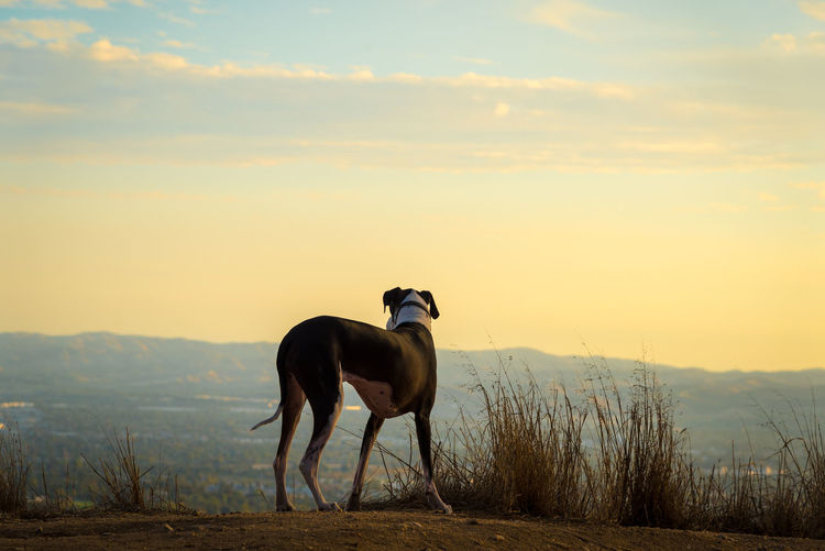 Great Dane dog looking out over valley at sunset. Mountain View Nature Animal Themes Beauty In Nature Black And White Dog Canine Dog Domestic Animals Field Golden Hour Great Dane Hazy  Mammal Mantle Mountain Mountains Nature No People One Animal Outdoors Pet Purebred Dog Sky Standing Sunset