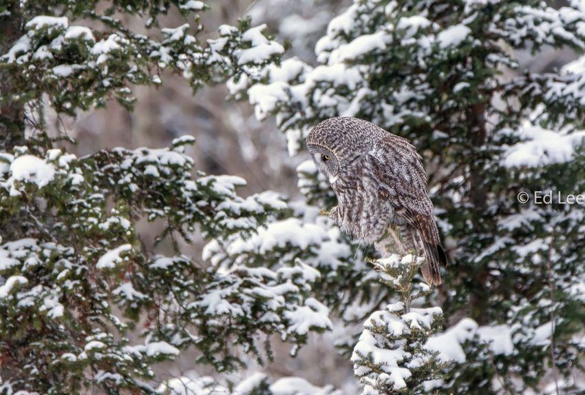 Snowy Encounter with a Great Gray Owl Bird Bird Photography Owls Streamzoofamily Malephotographerofthemonth Owl Snow Winter Cold Temperature Animals In The Wild Nature Bird Animal Wildlife One Animal Snowing Animal Themes No People Outdoors Tree Bird Of Prey Perching Close-up