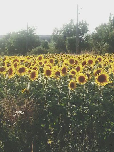 Sun Flowers Hello World Colors