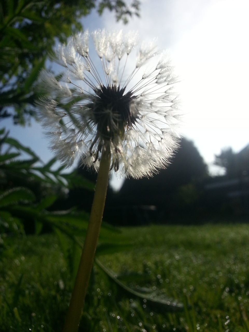 flower, fragility, nature, growth, dandelion, beauty in nature, freshness, flower head, botany, plant, softness, petal, outdoors, close-up, no people, day, springtime, grass, water