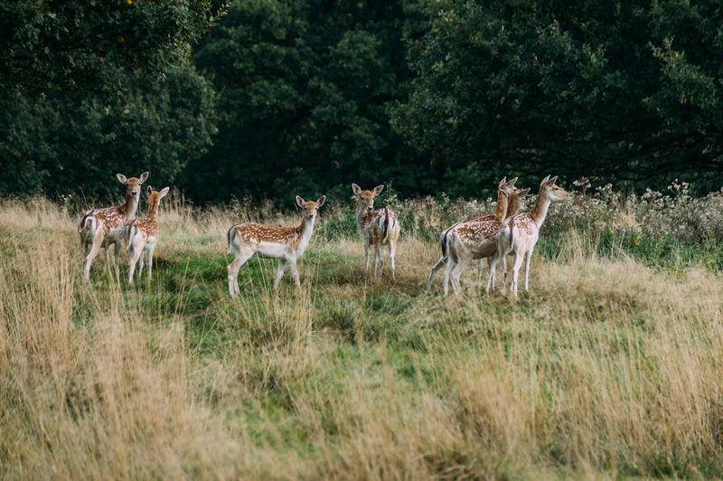 Deer standing on field against trees
