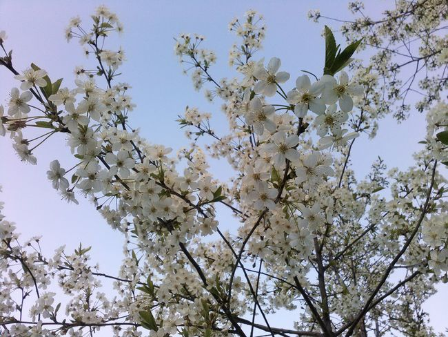 white flowers, flower tree, month May, spring, garden, blue sky, lovely landscape