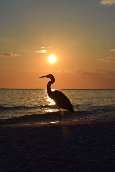 Sunset Blueheron PCB Florida Saltlife Beachlife Beauty In Nature Gulf Of Mexico Landascape Scenics Bird Beach Sky Sea Water One Animal Horizon Over Water Nature Animal Themes Silhouette Sun Animals In The Wild Sunlight Animal Wildlife Tranquility Outdoors No People First Eyeem Photo EyeEmNewHere