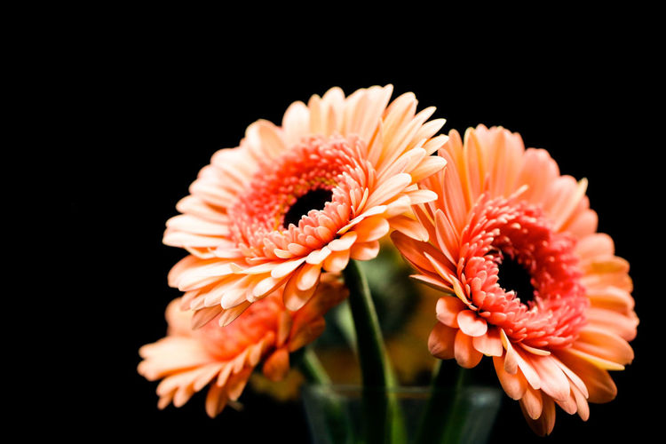 Flowering Plant Flower Fragility Vulnerability  Beauty In Nature Petal Close-up Flower Head Black Background Plant Inflorescence Studio Shot Growth Freshness Orange Color Nature Gerbera Daisy No People Pollen Indoors