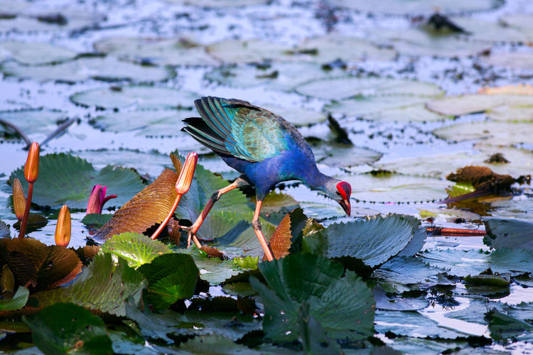 Close-up of exotic bird on water lilies