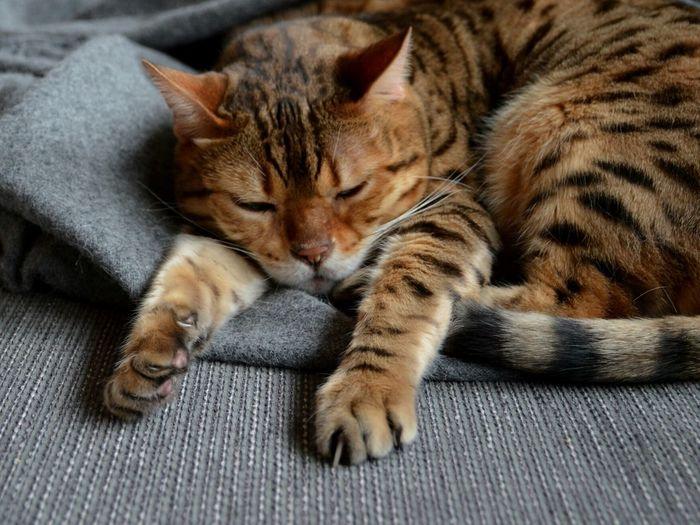 Cat Bengal Cat