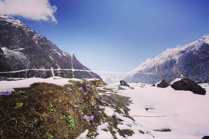 Beauty In Nature Yumthang Valley Mountain Snow Nature Winter Scenics India Sikkim Primulas