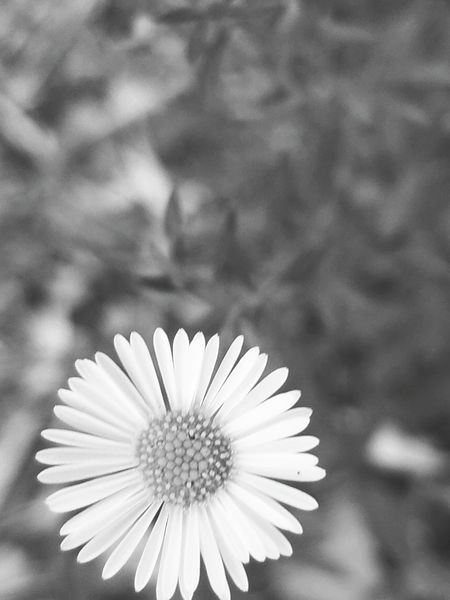 Dramatic Angles Flower Flower Head Petal Freshness Fragility Focus On Foreground Daisy Close-up White Color Beauty In Nature Growth Nature Bloom Day Pollen Springtime Monochrome Photography Single Flower Blossom No People Black And White Fine Art Photography Depth Of Field Still Life Photography