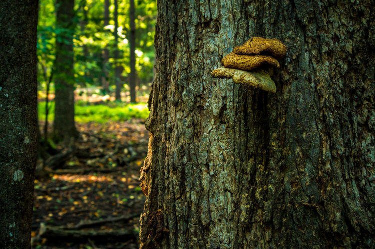 Beauty In Nature Close-up Day Focus On Foreground Forest Fungus Growth Land Mushroom Nature No People Outdoors Plant Plant Bark Textured  Tranquility Tree Tree Trunk Trunk WoodLand