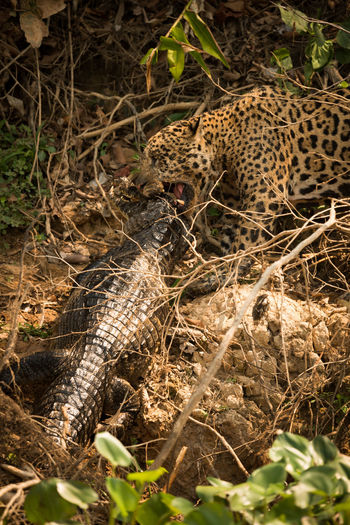 High angle view of jaguar hunting yacare caiman fighting in forest