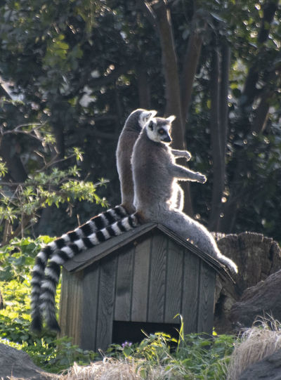 Mammal Animal Wildlife Animals In The Wild Plant One Animal Tree Vertebrate Full Length Sitting Nature Lemur No People Land Primate Day Focus On Foreground Looking
