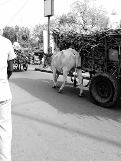 Sugarcane Cow Street Pity Randomshot Blackandwhite Sangareddy . Traffic