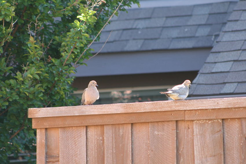 Animal Bird Day Dove Fence Love Story Nature No People Outdoors Perching