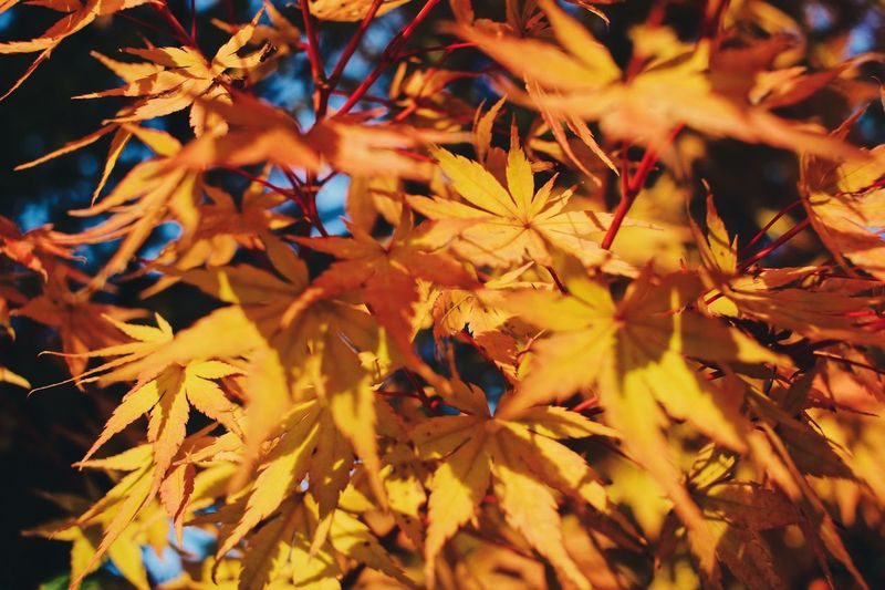 The autumn in Japan is lovely.❤️❤️❤️ nature_perfection Nature photography naturelovers autumn🍁🍁🍁 A Nature_perfection Nature Photography Naturelovers Autumn🍁🍁🍁 Autumn Leaves Japan Photography Japan Leaf Plant Part Autumn Plant Change Nature Backgrounds No People Beauty In Nature Growth Day Maple Leaf Leaves Full Frame Close-up Selective Focus Orange Color Outdoors Sunlight Tree