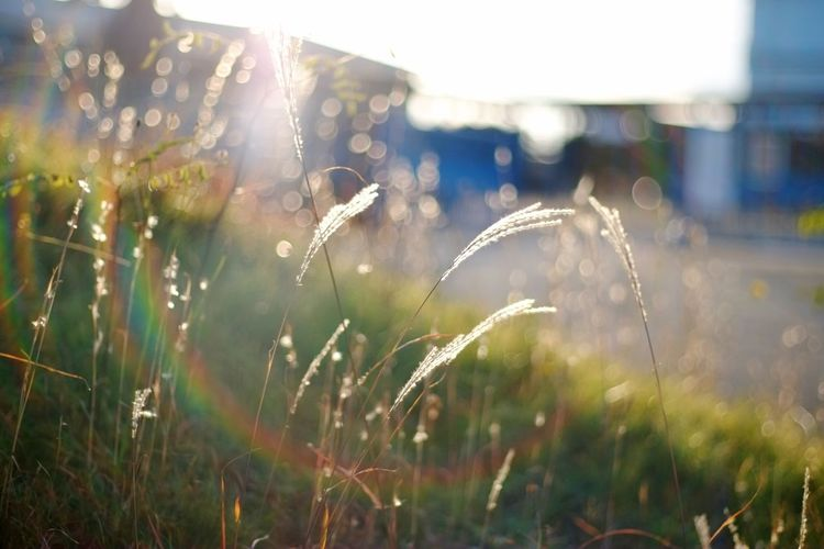 Growth Plant Nature Grass Sunlight Drop Day Outdoors Beauty In Nature Close-up No People Agriculture Planar50/1.4