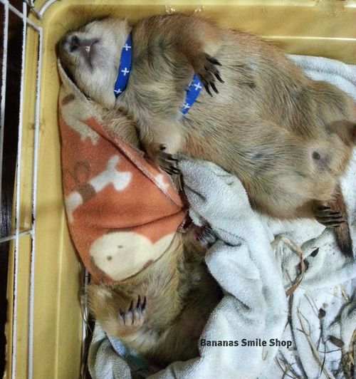 Prairiedog Prairie Dogs Sleep Sweet Dreams