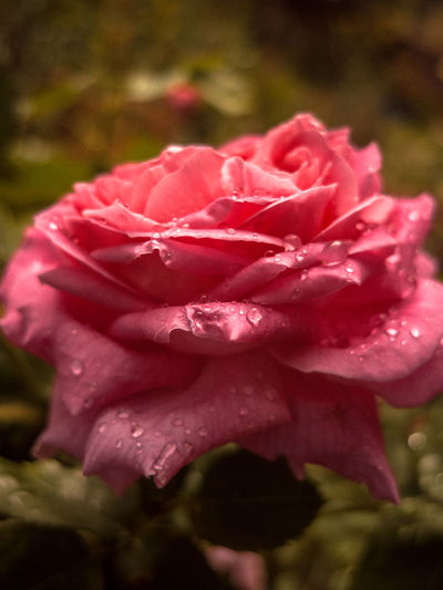 Afterrain Beauty In Nature Close-up Freshness Grainy MacRose Pınky Rosé
