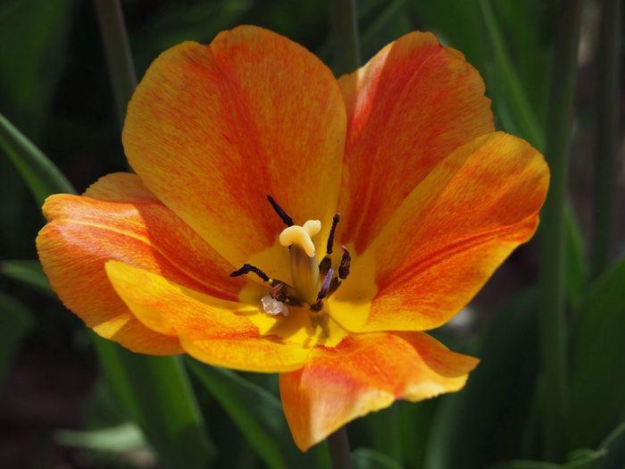 Beauty In Nature Tulip Flower In Ortenberg Germany