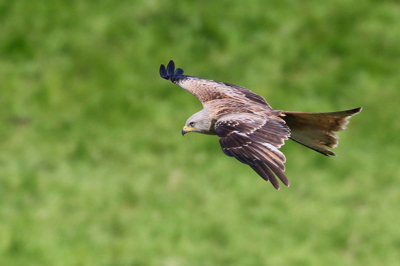 Red Kite flying by Animal Animal Themes Animal Wildlife Animals In The Wild Beauty In Nature Bird Bird Of Prey Close-up Day Flying Focus On Foreground Mid-air Motion Nature No People One Animal Outdoors Side View Spread Wings Vertebrate
