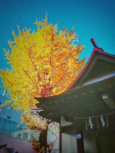 Tree Architecture Built Structure Building Exterior Sky No People Yellow Outdoors Day Growth Celebration Close-up Nature Shrine Japan 神社 小倉 北九州 Kitakyushu Kokura
