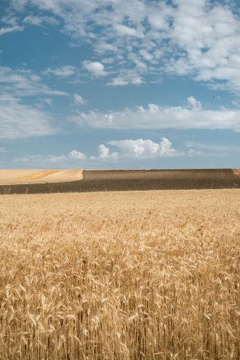 Wheat field on summer