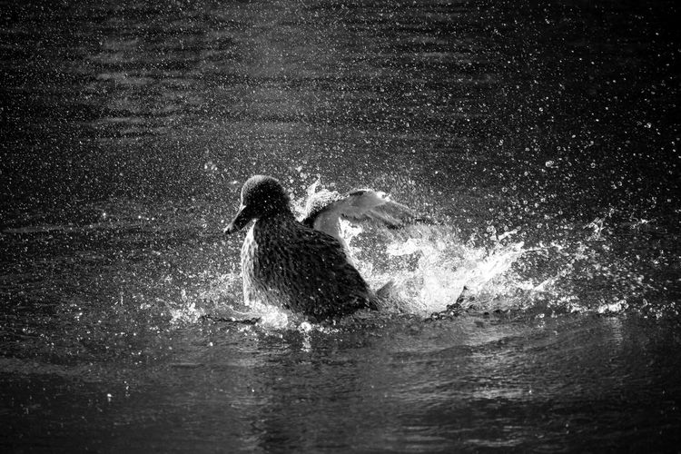 Duck Splashing! Bird Photography Lake Birds_collection Nature_collection Bnw Light And Shadow EyeEmBestPics Woods Eyeeybestshots EyeEm Nature Lover Minimalobsession Black&white Shades Of Grey Blackandwhite Blackandwhite Photography Black & White Black And White Minimalist Minimalism EE_Daily: Black And White Taking Photos Portugal Showcase: February