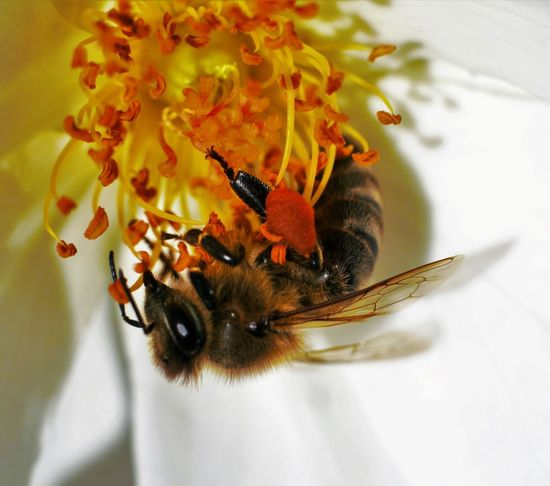 Animal Themes Animal Wildlife Animals In The Wild Beauty In Nature Bee Buzz California Califronia Close-up Day Flower Flower Head Fragility Freshness Growth Insect Moorpark Nature No People One Animal Outdoors Plant Pollination Maximum Closeness Spring