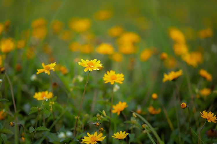 Nature Vibes | Field of Flowers Flower Plant Growth Petal Nature Blooming Fragility Beauty In Nature Field Flower Head Freshness Yellow Outdoors No People Day Cosmos Flower Close-up Grass