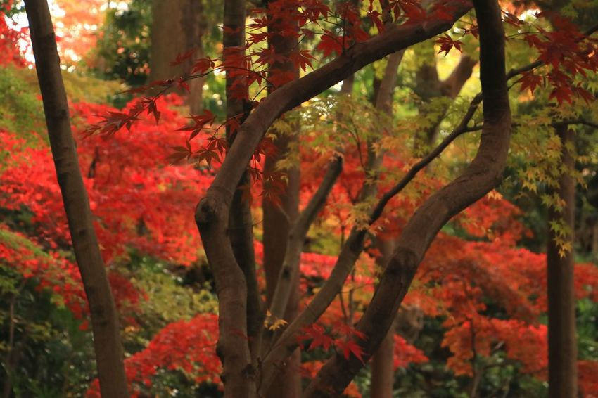Autumn Nature Tree Red Plant Beauty In Nature Plant Green Color Green Japan Landscape Maple Tree Red Color Maple Leaf Autumn Leaves Leaves And Colors Red Beauty In Nature Autumn