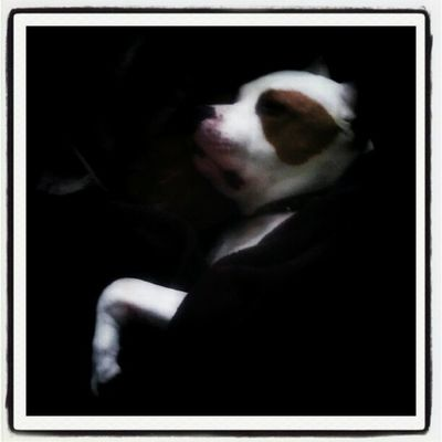 Floydpup I'm a little jealous, I didn't get to sleep in. Americanstaffordshire Lovernotafighter Pitstagram Pitbulllove Dontbullymybreed