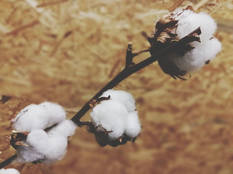 Baumwolle Cotton Organic Cotton Plants And Flowers Flower Head Knospe Plant Day Close-up Nature