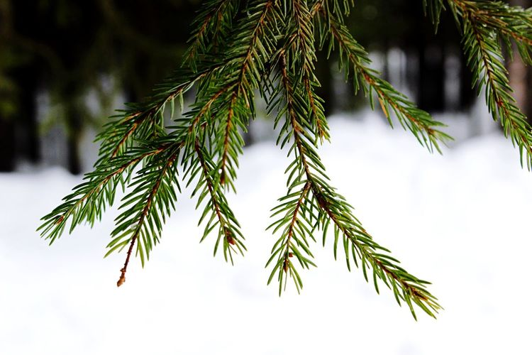 Close-up of pine tree branch during winter