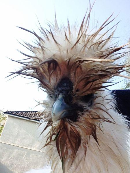 Chickensen] Bantam Good Morning Throwback Thursday