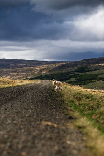 High angle view of sheep and lambs on mountain road against cloudy sky