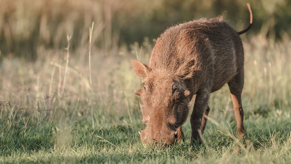 Troublemaker Africa African African Animal African Animals African Safari African Wildlife Animal Grazing Nature Nature Reserve South Africa Troublemaker Warthog Warthogs Wild Animal Wild Animals Wildlife
