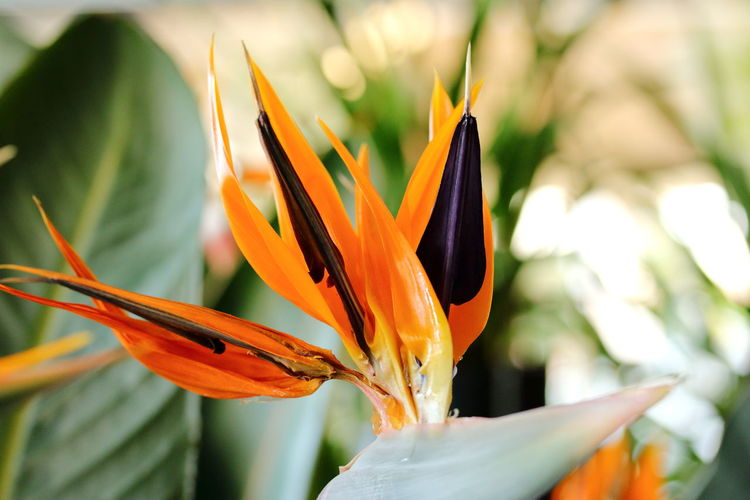 Beauty And Passion Beauty In Nature Bird Of Paradise - Plant Close-up Day Flower Flower Head Fragility Freshness Growth Nature No People Orange Color Petal Red Blue Orange