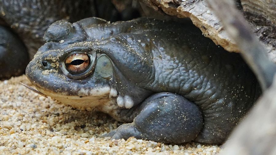 Ugly🐸 Ugly Face Animal Wildlife Reptile Frog Eyes Frogs Frog Behind Glass Portrait Animal Themes Animal Close-up Sand Zoo Animals  Zoo Frankfurt Animal Body Part