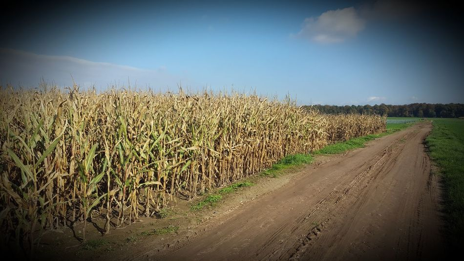 Sky Nature No People Outdoors Agriculture Day Beauty In Nature Smartphone Photography Playing With Filters Beliebte Fotos Agriculture Field Corncob
