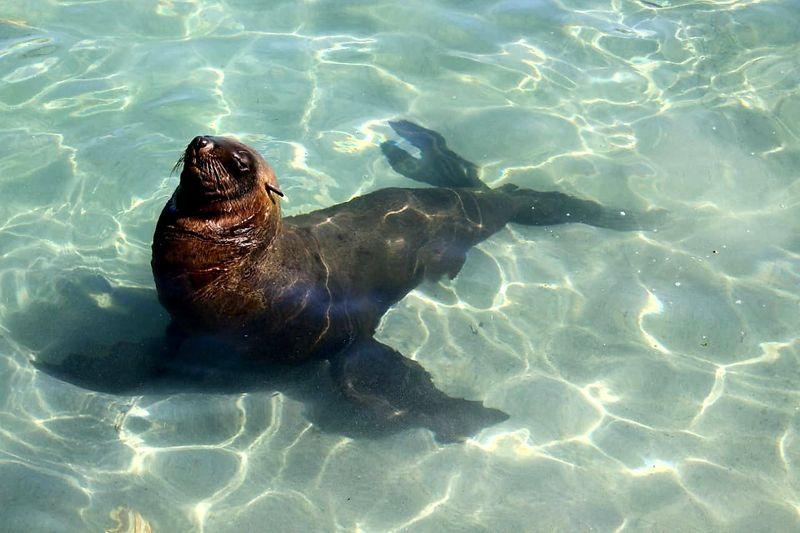 Seal Water Sea Life Sea Swimming UnderSea Close-up Aquatic Mammal Water Surface Rippled Seal Swimming Animal