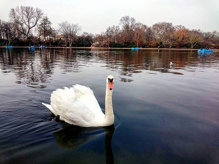 A Swan on the Serpentine Lake in Hyde Park, London.. @london Swan Serpentinelake London Thisislondon Toplondonphoto Lovelondon Hydepark Park Serpentine Nature Animal Bird Lake Water Trees Boats Picturesque Picoftheday Snapshot Capture March ICAN XPERIA Sonyxperia XperiaZ3