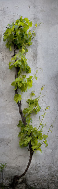 Freshness Green Color Growth Leaf Nature No People Outdoors Plant Vertical Vine Wall - Building Feature