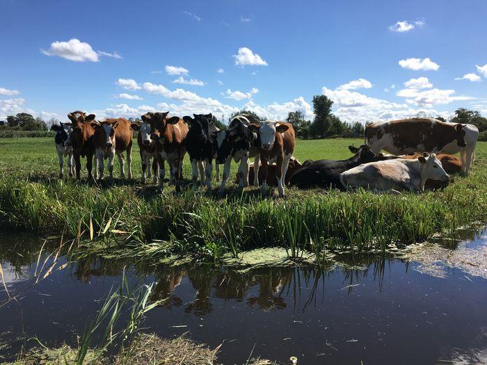 Koetjes en Kalfjes aan de Slootkant . Cows Calf