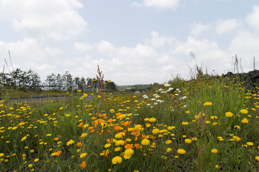 landscape near Osulloc in Jeju Island, South Korea Beauty In Nature Cloud - Sky Day Field Flower Flower Head Fragility Freshness Grass Growth JEJU ISLAND  Landscape Leisure Activity Lifestyles Nature One Person Osulloc Outdoors People Plant Real People Scenics Sky Tree Yellow