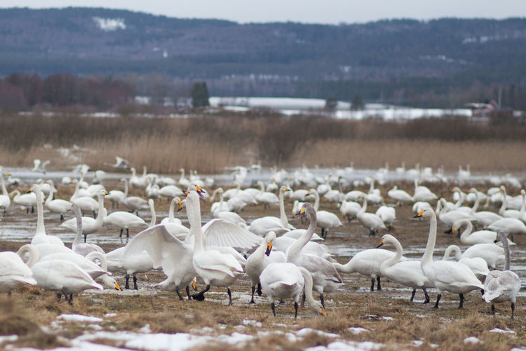 Durin spring time thousands of swans gather at the lake Tysslingen Sweden to rest and feed. https://www.tysslingen.nu/ Bird Photography Birds Of EyeEm  Water Nature Animal Bird Landscape Day Lake Springtime Swan Land Flock Of Birds Environment Togetherness Beauty In Nature Resting Time No People Resting Place Swans On The Lake Animals In The Wild White Birds Swedish Nature White Color Group Of Animals Swedish Landscape Animal Themes White Swans Focus On Foreground Animal Wildlife Vertebrate Large Group Of Animals Tysslingen Singing Swan Cygnus Cygnus Svansjön